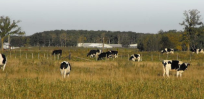 Rural Municipality of Hanover. A field of cows grazing.